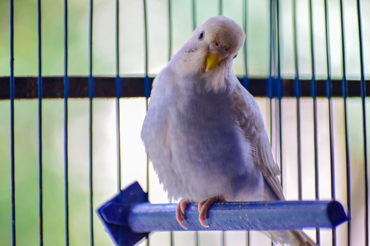 Fugl er i bur i et hjem